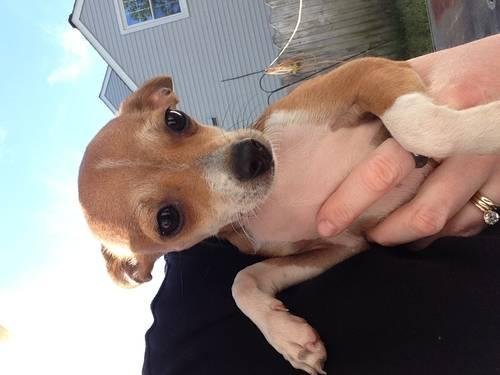 Ckc Chihuahua Puppies Price Reduced For Sale In Virginia Beach