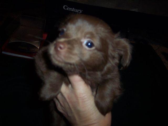 CKC Chocolate Longhair Female Chihuahua Puppy