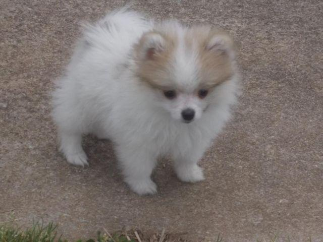 Ckc Chocolate Sable Parti Female Pomeranian Puppy 10 1 2 Weeks Old For Sale In Gaffney South