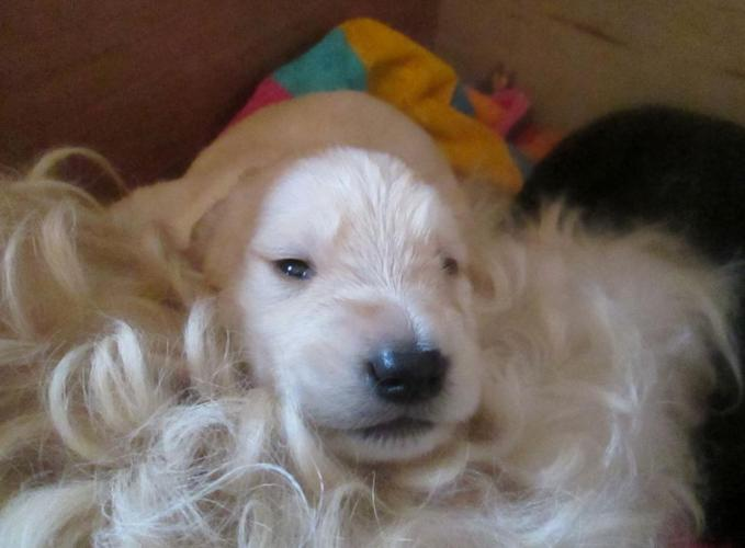 Ckc Cream Labradoodle Puppies For Sale In Bowling Green Kentucky
