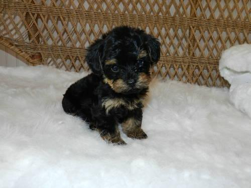 Ckc Cute Imperial Shih Tzu Puppies For Sale In Tallahassee Florida