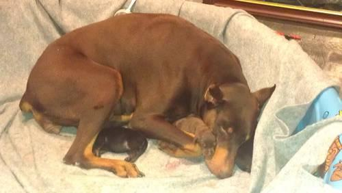 CKC Doberman Pinscher Puppies Born 12/21/2012 - Ready