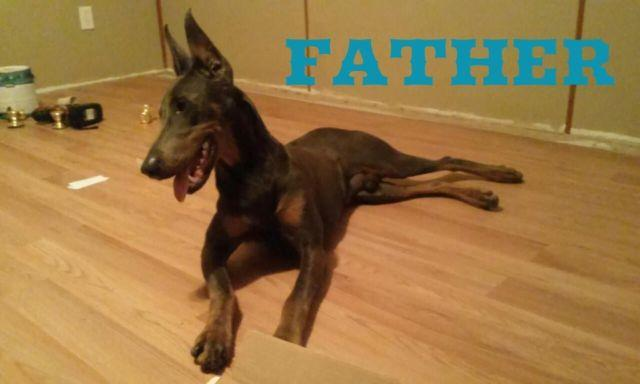 Ckc Doberman Puppies For Sale In Gray Court South Carolina