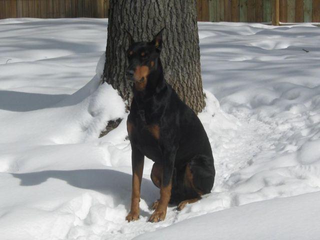 Ckc Doberman Puppies Black Rust Male Female For Sale In