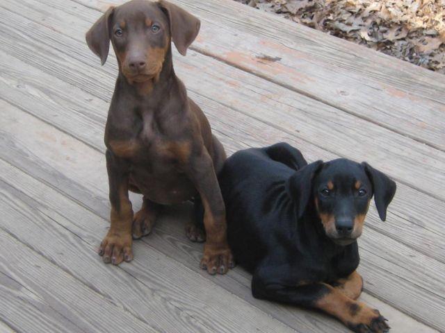 Ckc Doberman Puppy Red Male For Sale In Prudenville Michigan