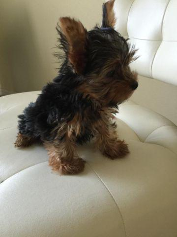 CKC Dollface Yorkshire Terrier (Yorkie) Puppy