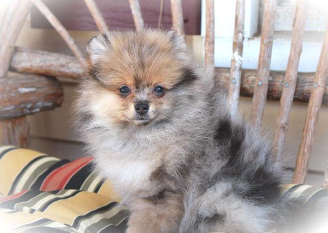merle pomeranian for sale ckc exotic sable merle pomeranian puppy ready to go now 9377