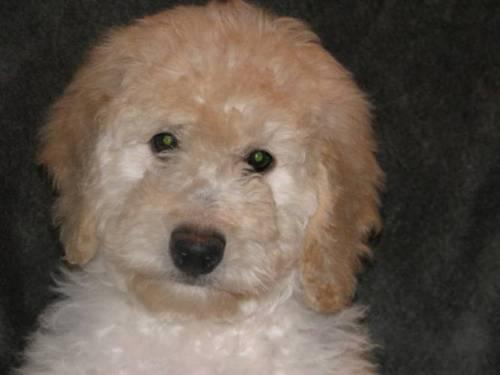 Ckc F1 Mini Goldendoodle Puppies For Sale For Sale In West