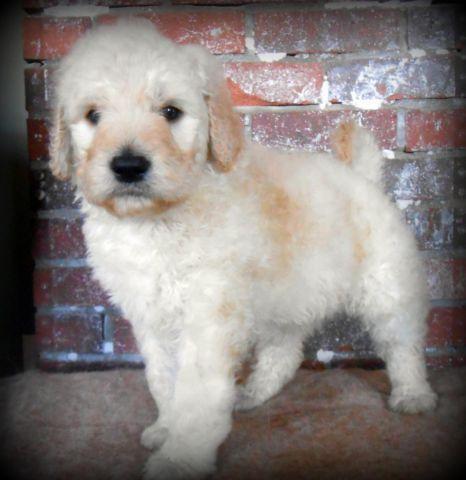 CKC F1B Goldendoodle Puppies