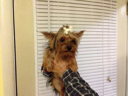 CKC female Yorkies - 8 months old