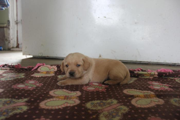 CKC Fox Red And Yellow Lab Puppies for Sale in Perrinton, Michigan