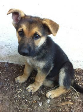 CKC German Shepherd Puppies - 8 Weeks Old