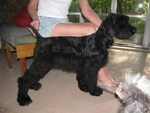 CKC GIANT SCHNOODLES for Sale in McMinnville, Tennessee ...