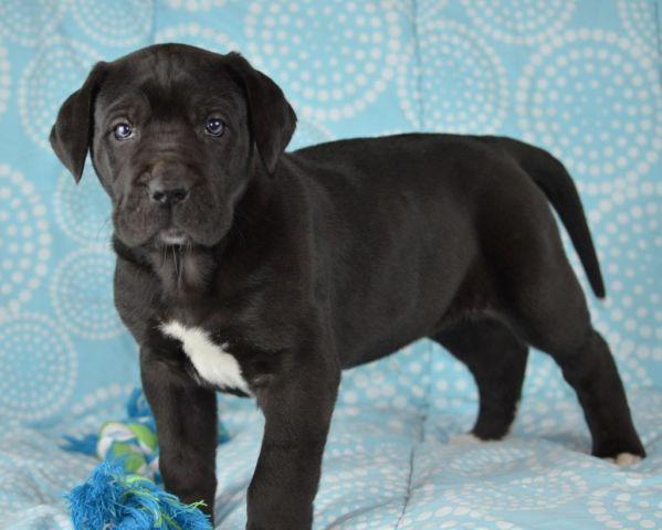 CKC GREAT DANE PUPPIES for Sale in Ballard, West Virginia ...