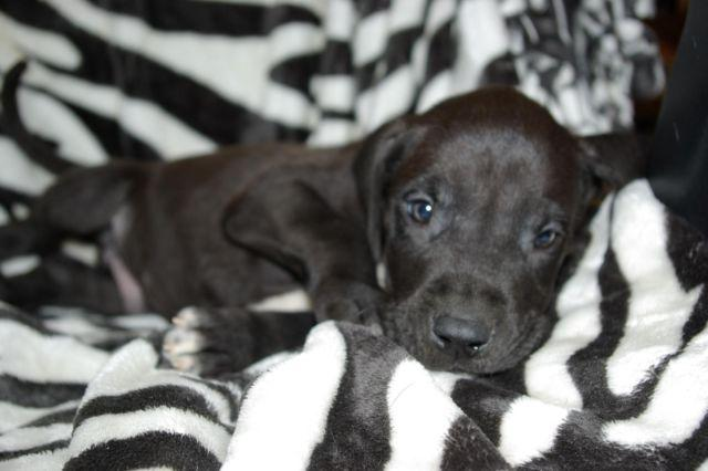 CKC Great Dane puppies...READY NOW! 8 wks old for Sale in ...