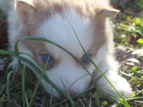 Ckc husky puppies