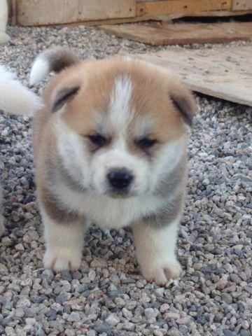 Akita Puppy For Sale In California Classifieds Buy And Sell In