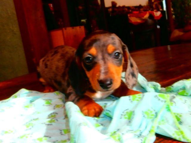 Ckc Male Dachshund Puppies For Sale In Saint Charles Michigan