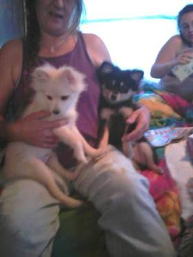 CKC Male(s) Pomeranian Pups - 18wks old - Ready 2 be