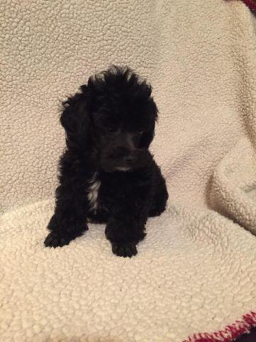 Ckc Male Toy Poodle For Sale In Colorado Springs Colorado