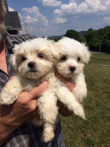 maltese puppy for sale in tn ckc maltese puppies for sale in bloomingdale tennessee 9277