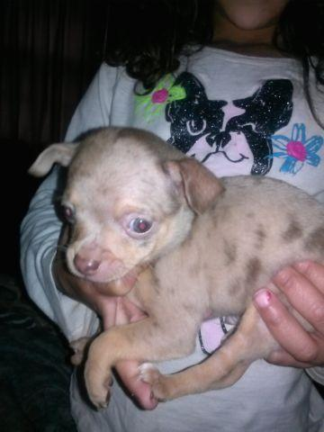 Teacup Chihuahua Pets And Animals For Sale In Griffin Georgia
