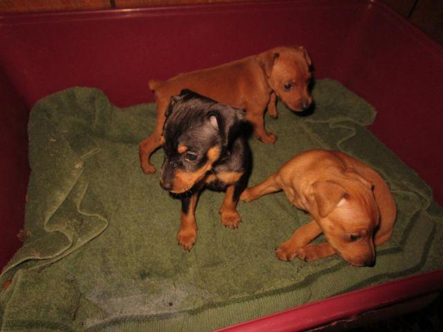 CKC Min-Pin Puppies (male and female)