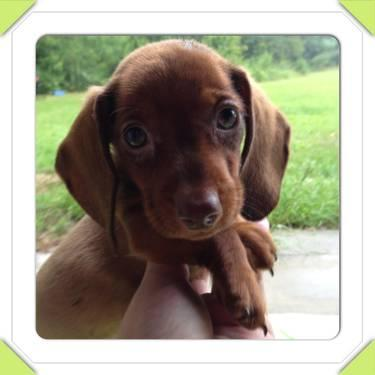 Ckc Minature Dachshund Puppies Variety Of Colors For Sale In Bell