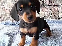 Dachshund Puppies Houston Tx