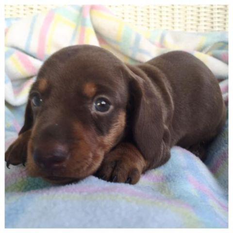 Dachshund For Sale In Bell Fountain Alabama Classifieds Buy And