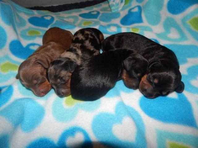 dachshund Classifieds - Buy & Sell dachshund across the USA page 213 ...