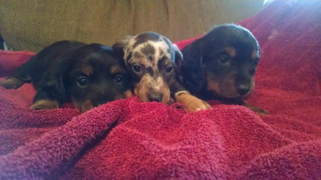 Dachshund Puppies For Sale In West Virginia Classifieds Buy And
