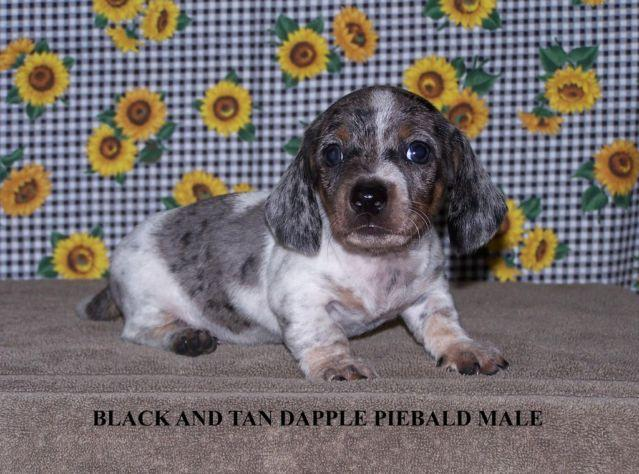 CKC Miniature Dachshund Puppies for Sale