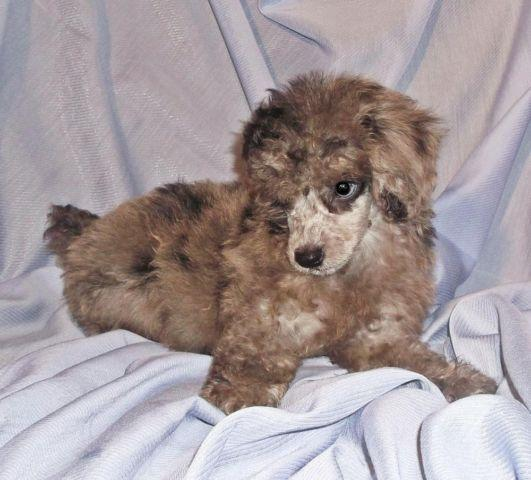 Ckc Miniature Merle Poodle Blue Eyes On Sale For Sale In