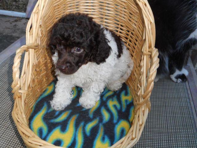 Ckc Miniature Parti Poodle For Sale In Lutz Florida
