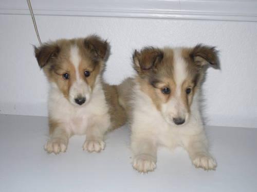 Ckc Miniature Shetland Sheepdog Sheltie Puppies For Sale In