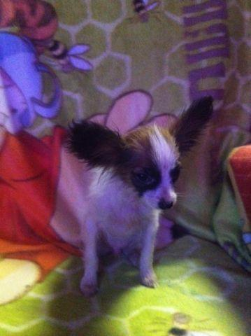 CKC Papillon puppy