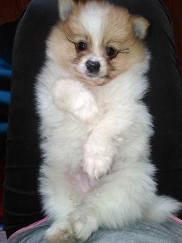 CKC Pomeranian male ready now