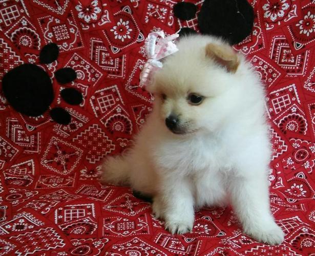 ckc Pomeranian puppies for Sale in Ogden Dunes, Indiana