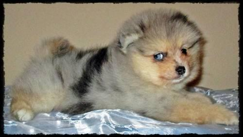 blue merle pomeranian puppies for sale ckc pomeranian puppies blue and chocolate merle for sale 1927