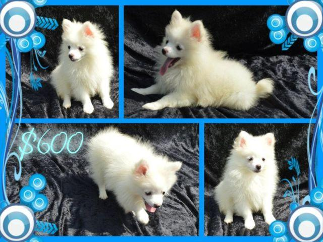 CKC Pomeranian Puppies Male