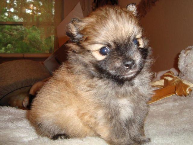 CKC Pomeranian puppy