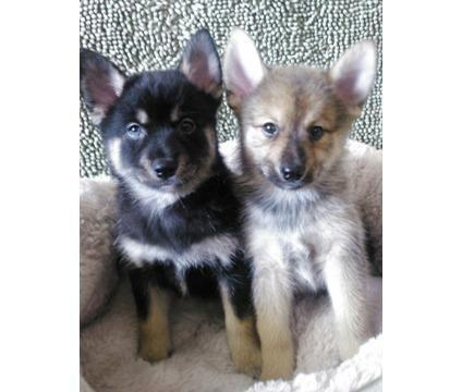 Ckc pomsky puppies for sale in murrieta california classified