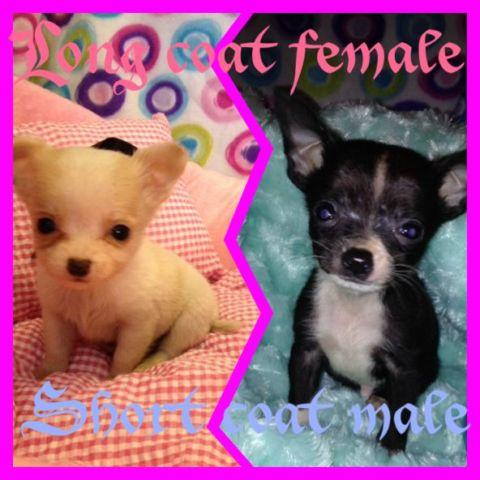ckc rare micro teacup apple head chihuahua puppies