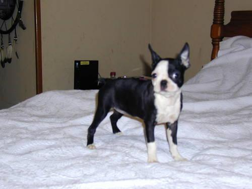 (CKC REG)(Boston Terrier pups) - (rare mini's) - 8