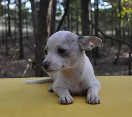 Chihuahua puppy for sale $150