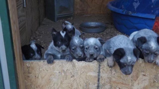 Blue Heelers For Sale : Blue heelers for sale in indiana classifieds buy and sell in