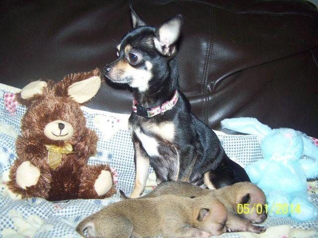 CKC Registered Chihuahua Pups