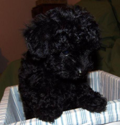 Autonation Chevrolet North >> CKC Registered Female Black Toy Poodle Puppy for Sale in Richlands, North Carolina Classified ...