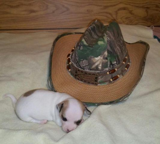 chihuahua puppies for sale in sc ckc registered male chihuahua puppy for sale in florence 547
